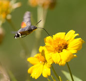 Sphingidae, known as bee Hawk-moth, enjoying the nectar of a yellow flower. Stock Photography