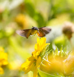 Sphingidae, known as bee Hawk-moth, enjoying the nectar of a yellow flower. Royalty Free Stock Photos