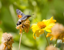 Sphingidae, known as bee Hawk-moth, enjoying the nectar of a yellow flower. Stock Images