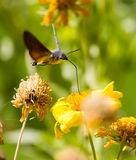 Sphingidae, known as bee Hawk-moth, enjoying the nectar of a yellow flower. Royalty Free Stock Images