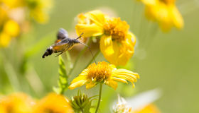 Sphingidae, known as bee Hawk-moth, enjoying the nectar of a yellow flower. Stock Photos