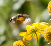 Sphingidae, known as bee Hawk-moth, enjoying the nectar of a yellow flower. Stock Photo