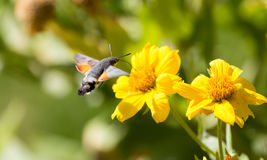 Sphingidae, known as bee Hawk-moth, enjoying the nectar of a yellow flower. Royalty Free Stock Photography
