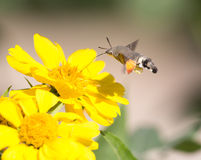 Sphingidae, known as bee Hawk-moth, enjoying the nectar of a yellow flower. Stock Image