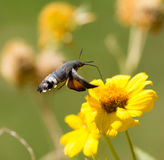 Sphingidae, known as bee Hawk-moth, enjoying the nectar of a yellow flower. Royalty Free Stock Image