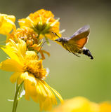 Sphingidae, known as bee Hawk-moth, enjoying the nectar of a yellow flower. Hummingbird moth. Calibri moth royalty free stock photography