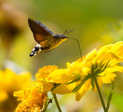 Sphingidae, known as bee Hawk-moth, enjoying the nectar of a yellow flower. Hummingbird moth. Calibri moth stock photos