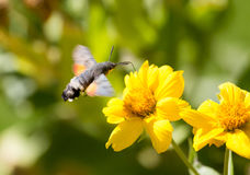 Sphingidae, known as bee Hawk-moth, enjoying the nectar of a yellow flower. Hummingbird moth. Calibri moth Royalty Free Stock Photos