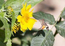 Sphingidae, known as bee Hawk-moth, enjoying the nectar of a yellow flower. Hummingbird moth. Calibri moth. Royalty Free Stock Photo