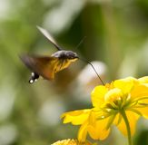 Sphingidae, known as bee Hawk-moth, enjoying the nectar of a yellow flower. Hummingbird moth. Calibri moth.  Stock Photos