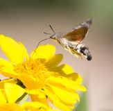 Sphingidae, known as bee Hawk-moth, enjoying the nectar of a yellow flower. Hummingbird moth. Calibri moth. Stock Images