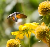Sphingidae, known as bee Hawk-moth, enjoying the nectar of a yellow flower. Hummingbird moth. Calibri moth. Stock Photography