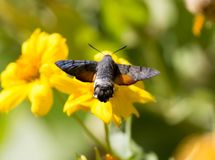 Sphingidae, known as bee Hawk-moth, enjoying the nectar of a yellow flower. Hummingbird moth. Calibri moth. Stock Photos