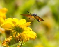 Sphingidae, known as bee Hawk-moth, enjoying the nectar of a yellow flower. Hummingbird moth. Calibri moth.  Royalty Free Stock Photography