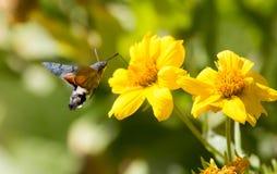 Sphingidae, known as bee Hawk-moth, enjoying the nectar of a yellow flower. Hummingbird moth. Calibri moth.  Stock Image