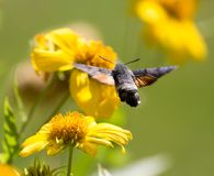 Sphingidae, known as bee Hawk-moth, enjoying the nectar of a yellow flower. Hummingbird moth. Calibri moth.  Stock Photography