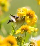 Sphingidae, known as bee Hawk-moth, enjoying the nectar of a yellow flower. Hummingbird moth. Calibri moth.  Royalty Free Stock Photo