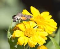 Sphingidae, known as bee Hawk-moth, enjoying the nectar of a yellow flower. Hummingbird moth. Calibri moth.  Royalty Free Stock Images