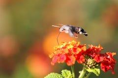 Sphingidae Humming  Royalty Free Stock Photos