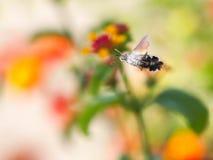 Sphingidae Humming  Stock Photo