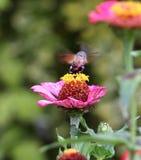 Sphingidae, znać jako pszczoły ćma, cieszy się nektar gerbera Hummingbird ćma Calibri ćma Fotografia Stock