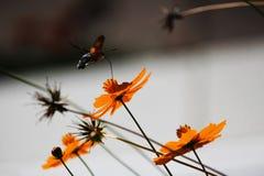 Sphingidae, znać jako pszczoły ćma, cieszy się nektar pomarańczowy kwiat Hummingbird ćma Calibri ćma Obraz Royalty Free