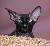 Sphinx avec de grandes oreilles Image stock