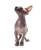 Sphinx bald cat Royalty Free Stock Photos