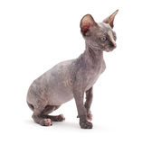 Sphinx bald cat Stock Images