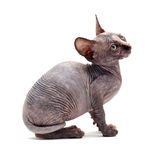 Sphinx bald cats Stock Photo