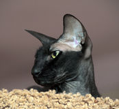 Sphinx with big ears Stock Image