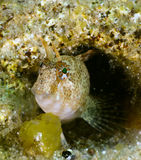 Sphinx blenny fish Royalty Free Stock Photography