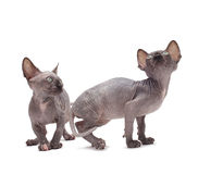 Sphinx cat Stock Photography