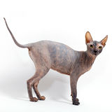 Sphinx cat Royalty Free Stock Images