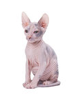 Sphinx cat Stock Photo
