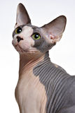 Sphinx Cat. On white background shot in a studio setting Stock Image