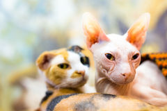 Sphinx cat Royalty Free Stock Photo