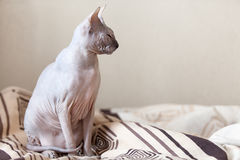 Sphinx cat on the bed Royalty Free Stock Photos