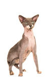 Sphinx cat being alert Royalty Free Stock Images
