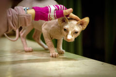 Sphinx cat cuddle Stock Photography