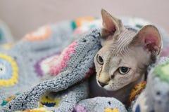 Sphinx cat stock images