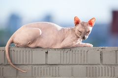 Sphinx cat laying in the sunshine on rail of balcony stock images