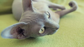 Sphinx cat lazy lying on couch closeup slow motion stock video footage