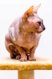 Sphinx cat pet shop stand Royalty Free Stock Images