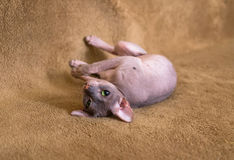 Sphinx cat playing. Little green eyed cat sphinx playing stock photo