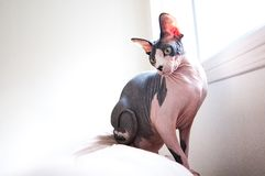Sphinx Cat on Sofa Royalty Free Stock Photography