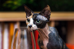 Sphinx cat trying wine Royalty Free Stock Photography