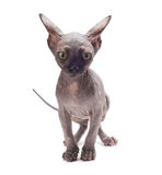Sphinx cat on white Stock Photo
