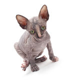 Sphinx cat on white Stock Image
