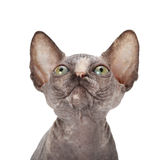 Sphinx cat on white Stock Photos